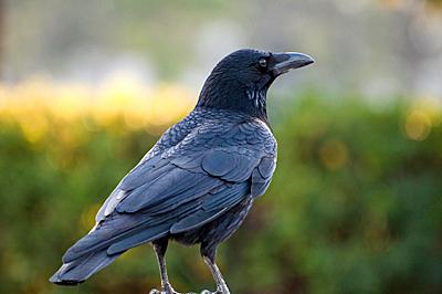 カラスの生態|鳥害対策、カラス対策のことなら、株式会社コーユー